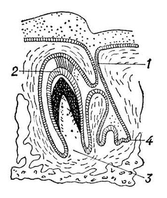 Строение верхушки корня зуба
